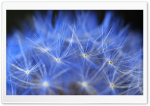 Blue Dandelion Macro HD Wide Wallpaper for Widescreen