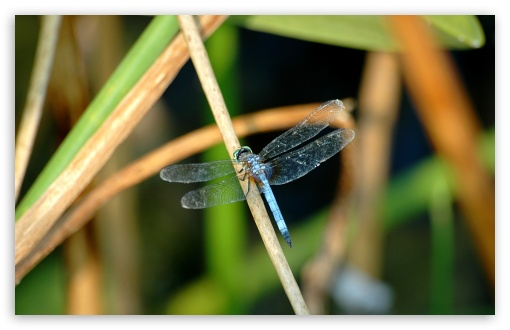 Blue Dragonfly HD wallpaper for Wide 16:10 5:3 Widescreen WHXGA WQXGA WUXGA WXGA WGA ; HD 16:9 High Definition WQHD QWXGA 1080p 900p 720p QHD nHD ; Standard 4:3 5:4 3:2 Fullscreen UXGA XGA SVGA QSXGA SXGA DVGA HVGA HQVGA devices ( Apple PowerBook G4 iPhone 4 3G 3GS iPod Touch ) ; Tablet 1:1 ; iPad 1/2/Mini ; Mobile 4:3 5:3 3:2 16:9 5:4 - UXGA XGA SVGA WGA DVGA HVGA HQVGA devices ( Apple PowerBook G4 iPhone 4 3G 3GS iPod Touch ) WQHD QWXGA 1080p 900p 720p QHD nHD QSXGA SXGA ; Dual 5:4 QSXGA SXGA ;