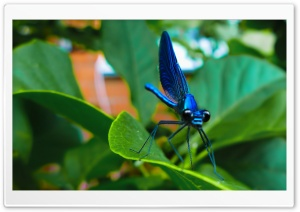 Blue Dragonfly HD Wide Wallpaper for Widescreen