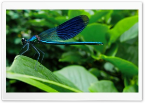 Blue Dragonfly HD Wide Wallpaper for 4K UHD Widescreen desktop & smartphone