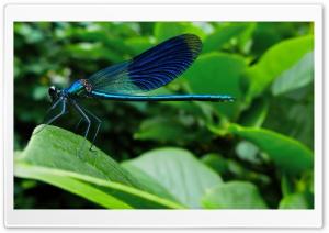 Blue Dragonfly Ultra HD Wallpaper for 4K UHD Widescreen desktop, tablet & smartphone