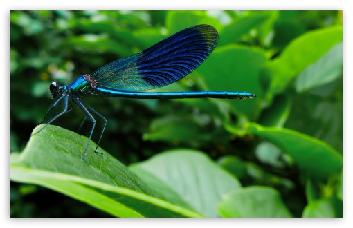 Blue Dragonfly ❤ 4K UHD Wallpaper for Wide 16:10 5:3 Widescreen WHXGA WQXGA WUXGA WXGA WGA ; 4K UHD 16:9 Ultra High Definition 2160p 1440p 1080p 900p 720p ; Standard 4:3 5:4 3:2 Fullscreen UXGA XGA SVGA QSXGA SXGA DVGA HVGA HQVGA ( Apple PowerBook G4 iPhone 4 3G 3GS iPod Touch ) ; iPad 1/2/Mini ; Mobile 4:3 5:3 3:2 16:9 5:4 - UXGA XGA SVGA WGA DVGA HVGA HQVGA ( Apple PowerBook G4 iPhone 4 3G 3GS iPod Touch ) 2160p 1440p 1080p 900p 720p QSXGA SXGA ; Dual 4:3 5:4 UXGA XGA SVGA QSXGA SXGA ;