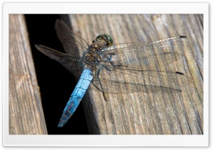 Blue Dragonfly, Libelle, Austria HD Wide Wallpaper for Widescreen