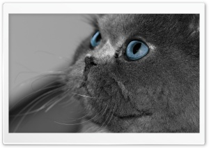 Blue Eyed Cat HD Wide Wallpaper for Widescreen
