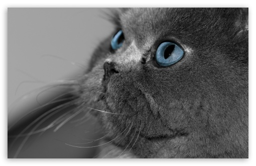 Blue Eyed Cat HD wallpaper for Wide 16:10 5:3 Widescreen WHXGA WQXGA WUXGA WXGA WGA ; HD 16:9 High Definition WQHD QWXGA 1080p 900p 720p QHD nHD ; Standard 4:3 5:4 3:2 Fullscreen UXGA XGA SVGA QSXGA SXGA DVGA HVGA HQVGA devices ( Apple PowerBook G4 iPhone 4 3G 3GS iPod Touch ) ; iPad 1/2/Mini ; Mobile 4:3 5:3 3:2 16:9 5:4 - UXGA XGA SVGA WGA DVGA HVGA HQVGA devices ( Apple PowerBook G4 iPhone 4 3G 3GS iPod Touch ) WQHD QWXGA 1080p 900p 720p QHD nHD QSXGA SXGA ;