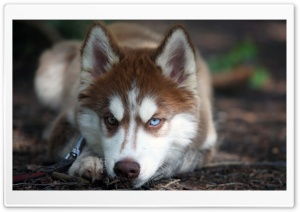 Blue Eyed Husky HD Wide Wallpaper for Widescreen
