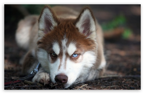 Blue Eyed Husky HD wallpaper for Wide 16:10 5:3 Widescreen WHXGA WQXGA WUXGA WXGA WGA ; Standard 4:3 5:4 3:2 Fullscreen UXGA XGA SVGA QSXGA SXGA DVGA HVGA HQVGA devices ( Apple PowerBook G4 iPhone 4 3G 3GS iPod Touch ) ; Tablet 1:1 ; iPad 1/2/Mini ; Mobile 4:3 5:3 3:2 5:4 - UXGA XGA SVGA WGA DVGA HVGA HQVGA devices ( Apple PowerBook G4 iPhone 4 3G 3GS iPod Touch ) QSXGA SXGA ;