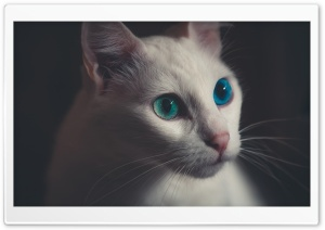 Blue Eyes Cat Ultra HD Wallpaper for 4K UHD Widescreen desktop, tablet & smartphone