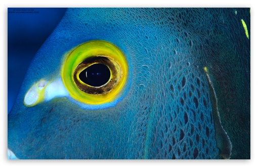 Blue fish with yellow eyes 4k hd desktop wallpaper for 4k for Fish eye skin