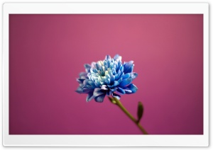 Blue Flower HD Wide Wallpaper for Widescreen