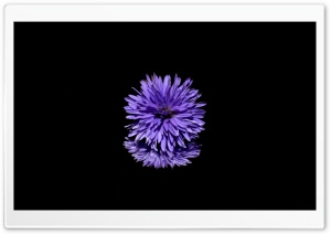 Blue Flower, Black Background HD Wide Wallpaper for Widescreen
