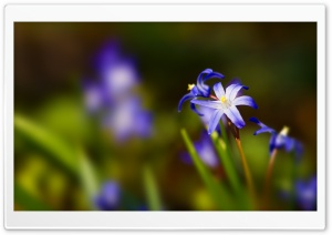 Blue Flower Bokeh HD Wide Wallpaper for 4K UHD Widescreen desktop & smartphone