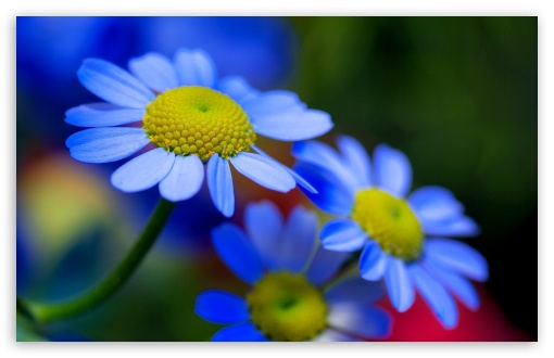 Blue Flowers 4k Hd Desktop Wallpaper For 4k Ultra Hd Tv Wide