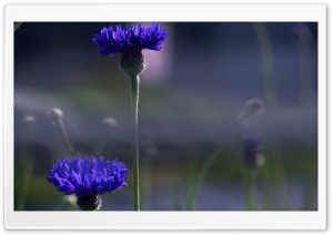 Blue Flowers HD Wide Wallpaper for Widescreen