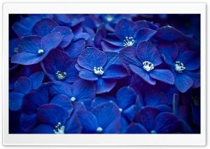 Blue Flowers HD Wide Wallpaper for 4K UHD Widescreen desktop & smartphone