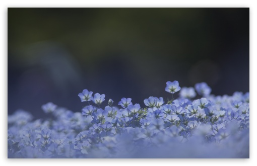 Blue Flowers Background ❤ 4K UHD Wallpaper for Wide 16:10 5:3 Widescreen WHXGA WQXGA WUXGA WXGA WGA ; UltraWide 21:9 24:10 ; 4K UHD 16:9 Ultra High Definition 2160p 1440p 1080p 900p 720p ; UHD 16:9 2160p 1440p 1080p 900p 720p ; Standard 4:3 5:4 3:2 Fullscreen UXGA XGA SVGA QSXGA SXGA DVGA HVGA HQVGA ( Apple PowerBook G4 iPhone 4 3G 3GS iPod Touch ) ; Smartphone 16:9 3:2 5:3 2160p 1440p 1080p 900p 720p DVGA HVGA HQVGA ( Apple PowerBook G4 iPhone 4 3G 3GS iPod Touch ) WGA ; Tablet 1:1 ; iPad 1/2/Mini ; Mobile 4:3 5:3 3:2 16:9 5:4 - UXGA XGA SVGA WGA DVGA HVGA HQVGA ( Apple PowerBook G4 iPhone 4 3G 3GS iPod Touch ) 2160p 1440p 1080p 900p 720p QSXGA SXGA ; Dual 16:10 5:3 16:9 4:3 5:4 3:2 WHXGA WQXGA WUXGA WXGA WGA 2160p 1440p 1080p 900p 720p UXGA XGA SVGA QSXGA SXGA DVGA HVGA HQVGA ( Apple PowerBook G4 iPhone 4 3G 3GS iPod Touch ) ; Triple 16:10 5:3 16:9 4:3 5:4 3:2 WHXGA WQXGA WUXGA WXGA WGA 2160p 1440p 1080p 900p 720p UXGA XGA SVGA QSXGA SXGA DVGA HVGA HQVGA ( Apple PowerBook G4 iPhone 4 3G 3GS iPod Touch ) ;
