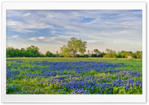 Blue Flowers Field HD Wide Wallpaper for Widescreen
