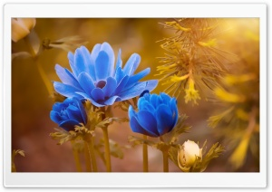 Blue Flowers, Golden Sunshine HD Wide Wallpaper for 4K UHD Widescreen desktop & smartphone