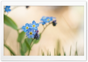 Blue Forget-me-nots Flowers Macro HD Wide Wallpaper for Widescreen