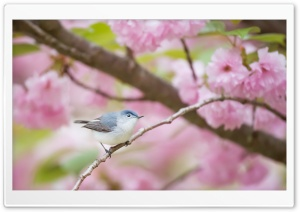 Blue-gray Gnatcatcher bird, Spring HD Wide Wallpaper for 4K UHD Widescreen desktop & smartphone