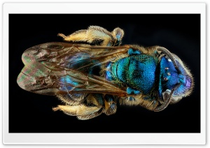 Blue Green Bee HD Wide Wallpaper for 4K UHD Widescreen desktop & smartphone
