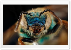 Blue Green Metallic Bee, Agapostemon Splendens HD Wide Wallpaper for Widescreen