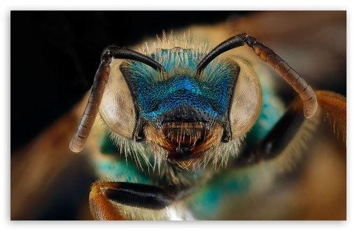 Blue Green Metallic Bee, Agapostemon Splendens ❤ 4K UHD Wallpaper for Wide 16:10 5:3 Widescreen WHXGA WQXGA WUXGA WXGA WGA ; 4K UHD 16:9 Ultra High Definition 2160p 1440p 1080p 900p 720p ; UHD 16:9 2160p 1440p 1080p 900p 720p ; Standard 4:3 5:4 3:2 Fullscreen UXGA XGA SVGA QSXGA SXGA DVGA HVGA HQVGA ( Apple PowerBook G4 iPhone 4 3G 3GS iPod Touch ) ; Tablet 1:1 ; iPad 1/2/Mini ; Mobile 4:3 5:3 3:2 16:9 5:4 - UXGA XGA SVGA WGA DVGA HVGA HQVGA ( Apple PowerBook G4 iPhone 4 3G 3GS iPod Touch ) 2160p 1440p 1080p 900p 720p QSXGA SXGA ;