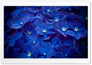 Blue Hortensia HD Wide Wallpaper for Widescreen