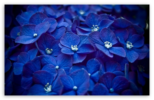 Blue Hortensia HD wallpaper for Wide 16:10 5:3 Widescreen WHXGA WQXGA WUXGA WXGA WGA ; HD 16:9 High Definition WQHD QWXGA 1080p 900p 720p QHD nHD ; Standard 4:3 5:4 3:2 Fullscreen UXGA XGA SVGA QSXGA SXGA DVGA HVGA HQVGA devices ( Apple PowerBook G4 iPhone 4 3G 3GS iPod Touch ) ; Tablet 1:1 ; iPad 1/2/Mini ; Mobile 4:3 5:3 3:2 16:9 5:4 - UXGA XGA SVGA WGA DVGA HVGA HQVGA devices ( Apple PowerBook G4 iPhone 4 3G 3GS iPod Touch ) WQHD QWXGA 1080p 900p 720p QHD nHD QSXGA SXGA ; Dual 16:10 5:3 16:9 4:3 5:4 WHXGA WQXGA WUXGA WXGA WGA WQHD QWXGA 1080p 900p 720p QHD nHD UXGA XGA SVGA QSXGA SXGA ;