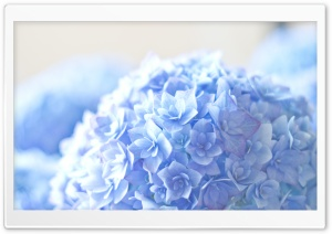 Blue Hortensia Flower HD Wide Wallpaper for Widescreen