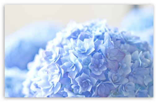 Blue Hortensia Flower ❤ 4K UHD Wallpaper for Wide 16:10 5:3 Widescreen WHXGA WQXGA WUXGA WXGA WGA ; 4K UHD 16:9 Ultra High Definition 2160p 1440p 1080p 900p 720p ; UHD 16:9 2160p 1440p 1080p 900p 720p ; Standard 4:3 5:4 3:2 Fullscreen UXGA XGA SVGA QSXGA SXGA DVGA HVGA HQVGA ( Apple PowerBook G4 iPhone 4 3G 3GS iPod Touch ) ; Smartphone 5:3 WGA ; Tablet 1:1 ; iPad 1/2/Mini ; Mobile 4:3 5:3 3:2 16:9 5:4 - UXGA XGA SVGA WGA DVGA HVGA HQVGA ( Apple PowerBook G4 iPhone 4 3G 3GS iPod Touch ) 2160p 1440p 1080p 900p 720p QSXGA SXGA ; Dual 16:10 5:3 16:9 4:3 5:4 WHXGA WQXGA WUXGA WXGA WGA 2160p 1440p 1080p 900p 720p UXGA XGA SVGA QSXGA SXGA ;