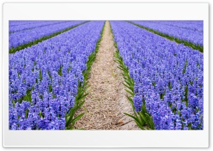 Blue Hyacinth Field, Spring Ultra HD Wallpaper for 4K UHD Widescreen desktop, tablet & smartphone