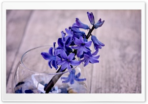Blue Hyacinth Flower In A Vase HD Wide Wallpaper for Widescreen