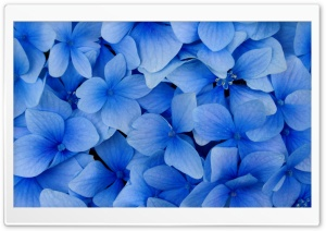 Blue Hydrangea Blossoms HD Wide Wallpaper for Widescreen