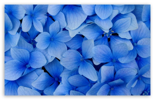 Blue Hydrangea Blossoms ❤ 4K UHD Wallpaper for Wide 16:10 5:3 Widescreen WHXGA WQXGA WUXGA WXGA WGA ; 4K UHD 16:9 Ultra High Definition 2160p 1440p 1080p 900p 720p ; Standard 4:3 5:4 3:2 Fullscreen UXGA XGA SVGA QSXGA SXGA DVGA HVGA HQVGA ( Apple PowerBook G4 iPhone 4 3G 3GS iPod Touch ) ; Tablet 1:1 ; iPad 1/2/Mini ; Mobile 4:3 5:3 3:2 16:9 5:4 - UXGA XGA SVGA WGA DVGA HVGA HQVGA ( Apple PowerBook G4 iPhone 4 3G 3GS iPod Touch ) 2160p 1440p 1080p 900p 720p QSXGA SXGA ;