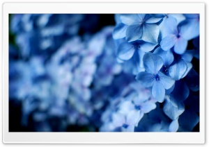 Blue Hydrangea Flowers HD Wide Wallpaper for 4K UHD Widescreen desktop & smartphone