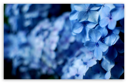 Blue Hydrangea Flowers ❤ 4K UHD Wallpaper for Wide 16:10 5:3 Widescreen WHXGA WQXGA WUXGA WXGA WGA ; 4K UHD 16:9 Ultra High Definition 2160p 1440p 1080p 900p 720p ; UHD 16:9 2160p 1440p 1080p 900p 720p ; Standard 4:3 5:4 3:2 Fullscreen UXGA XGA SVGA QSXGA SXGA DVGA HVGA HQVGA ( Apple PowerBook G4 iPhone 4 3G 3GS iPod Touch ) ; Tablet 1:1 ; iPad 1/2/Mini ; Mobile 4:3 5:3 3:2 16:9 5:4 - UXGA XGA SVGA WGA DVGA HVGA HQVGA ( Apple PowerBook G4 iPhone 4 3G 3GS iPod Touch ) 2160p 1440p 1080p 900p 720p QSXGA SXGA ;