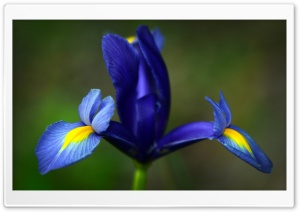 Blue Iris Flower HD Wide Wallpaper for 4K UHD Widescreen desktop & smartphone