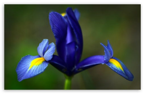 Blue Iris Flower HD wallpaper for Wide 16:10 5:3 Widescreen WHXGA WQXGA WUXGA WXGA WGA ; HD 16:9 High Definition WQHD QWXGA 1080p 900p 720p QHD nHD ; Other 3:2 DVGA HVGA HQVGA devices ( Apple PowerBook G4 iPhone 4 3G 3GS iPod Touch ) ; Mobile WVGA iPhone PSP - WVGA WQVGA Smartphone ( HTC Samsung Sony Ericsson LG Vertu MIO ) HVGA Smartphone ( Apple iPhone iPod BlackBerry HTC Samsung Nokia ) Sony PSP Zune HD Zen ;