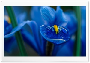 Blue Iris Flower Macro HD Wide Wallpaper for Widescreen
