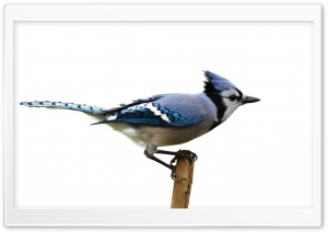 Blue Jay HD Wide Wallpaper for 4K UHD Widescreen desktop & smartphone