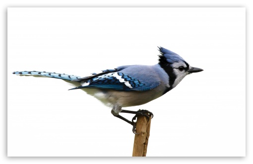 Blue Jay HD wallpaper for Wide 16:10 5:3 Widescreen WHXGA WQXGA WUXGA WXGA WGA ; HD 16:9 High Definition WQHD QWXGA 1080p 900p 720p QHD nHD ; UHD 16:9 WQHD QWXGA 1080p 900p 720p QHD nHD ; Standard 4:3 5:4 3:2 Fullscreen UXGA XGA SVGA QSXGA SXGA DVGA HVGA HQVGA devices ( Apple PowerBook G4 iPhone 4 3G 3GS iPod Touch ) ; Tablet 1:1 ; iPad 1/2/Mini ; Mobile 4:3 5:3 3:2 16:9 5:4 - UXGA XGA SVGA WGA DVGA HVGA HQVGA devices ( Apple PowerBook G4 iPhone 4 3G 3GS iPod Touch ) WQHD QWXGA 1080p 900p 720p QHD nHD QSXGA SXGA ;
