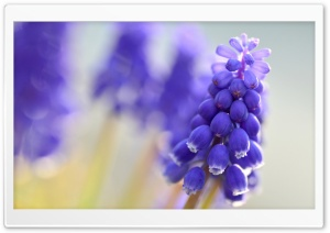 Blue Muscari Flowers HD Wide Wallpaper for Widescreen
