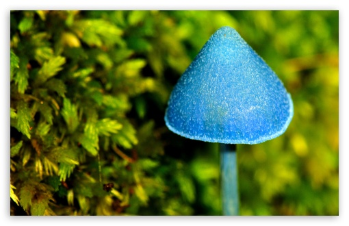 Blue Mushroom ❤ 4K UHD Wallpaper for Wide 16:10 5:3 Widescreen WHXGA WQXGA WUXGA WXGA WGA ; 4K UHD 16:9 Ultra High Definition 2160p 1440p 1080p 900p 720p ; Standard 4:3 5:4 3:2 Fullscreen UXGA XGA SVGA QSXGA SXGA DVGA HVGA HQVGA ( Apple PowerBook G4 iPhone 4 3G 3GS iPod Touch ) ; Tablet 1:1 ; iPad 1/2/Mini ; Mobile 4:3 5:3 3:2 16:9 5:4 - UXGA XGA SVGA WGA DVGA HVGA HQVGA ( Apple PowerBook G4 iPhone 4 3G 3GS iPod Touch ) 2160p 1440p 1080p 900p 720p QSXGA SXGA ;