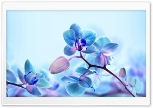 Blue Orchid Flowers HD Wide Wallpaper for 4K UHD Widescreen desktop & smartphone