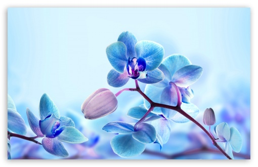 Blue Orchid Flowers HD wallpaper for Wide 16:10 5:3 Widescreen WHXGA WQXGA WUXGA WXGA WGA ; UltraWide 21:9 24:10 ; HD 16:9 High Definition WQHD QWXGA 1080p 900p 720p QHD nHD ; UHD 16:9 WQHD QWXGA 1080p 900p 720p QHD nHD ; Standard 4:3 5:4 3:2 Fullscreen UXGA XGA SVGA QSXGA SXGA DVGA HVGA HQVGA devices ( Apple PowerBook G4 iPhone 4 3G 3GS iPod Touch ) ; Smartphone 16:9 3:2 5:3 WQHD QWXGA 1080p 900p 720p QHD nHD DVGA HVGA HQVGA devices ( Apple PowerBook G4 iPhone 4 3G 3GS iPod Touch ) WGA ; Tablet 1:1 ; iPad 1/2/Mini ; Mobile 4:3 5:3 3:2 16:9 5:4 - UXGA XGA SVGA WGA DVGA HVGA HQVGA devices ( Apple PowerBook G4 iPhone 4 3G 3GS iPod Touch ) WQHD QWXGA 1080p 900p 720p QHD nHD QSXGA SXGA ; Dual 16:10 5:3 16:9 4:3 5:4 3:2 WHXGA WQXGA WUXGA WXGA WGA WQHD QWXGA 1080p 900p 720p QHD nHD UXGA XGA SVGA QSXGA SXGA DVGA HVGA HQVGA devices ( Apple PowerBook G4 iPhone 4 3G 3GS iPod Touch ) ;