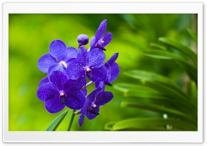 Blue Orchids HD Wide Wallpaper for Widescreen