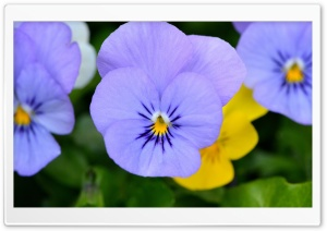 Blue Pansies HD Wide Wallpaper for Widescreen