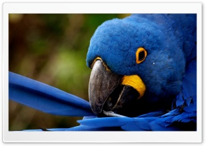 Blue Parrot Ultra HD Wallpaper for 4K UHD Widescreen desktop, tablet & smartphone