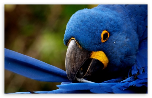 Blue Parrot HD wallpaper for Wide 16:10 5:3 Widescreen WHXGA WQXGA WUXGA WXGA WGA ; HD 16:9 High Definition WQHD QWXGA 1080p 900p 720p QHD nHD ; Standard 4:3 5:4 3:2 Fullscreen UXGA XGA SVGA QSXGA SXGA DVGA HVGA HQVGA devices ( Apple PowerBook G4 iPhone 4 3G 3GS iPod Touch ) ; Tablet 1:1 ; iPad 1/2/Mini ; Mobile 4:3 5:3 3:2 5:4 - UXGA XGA SVGA WGA DVGA HVGA HQVGA devices ( Apple PowerBook G4 iPhone 4 3G 3GS iPod Touch ) QSXGA SXGA ;